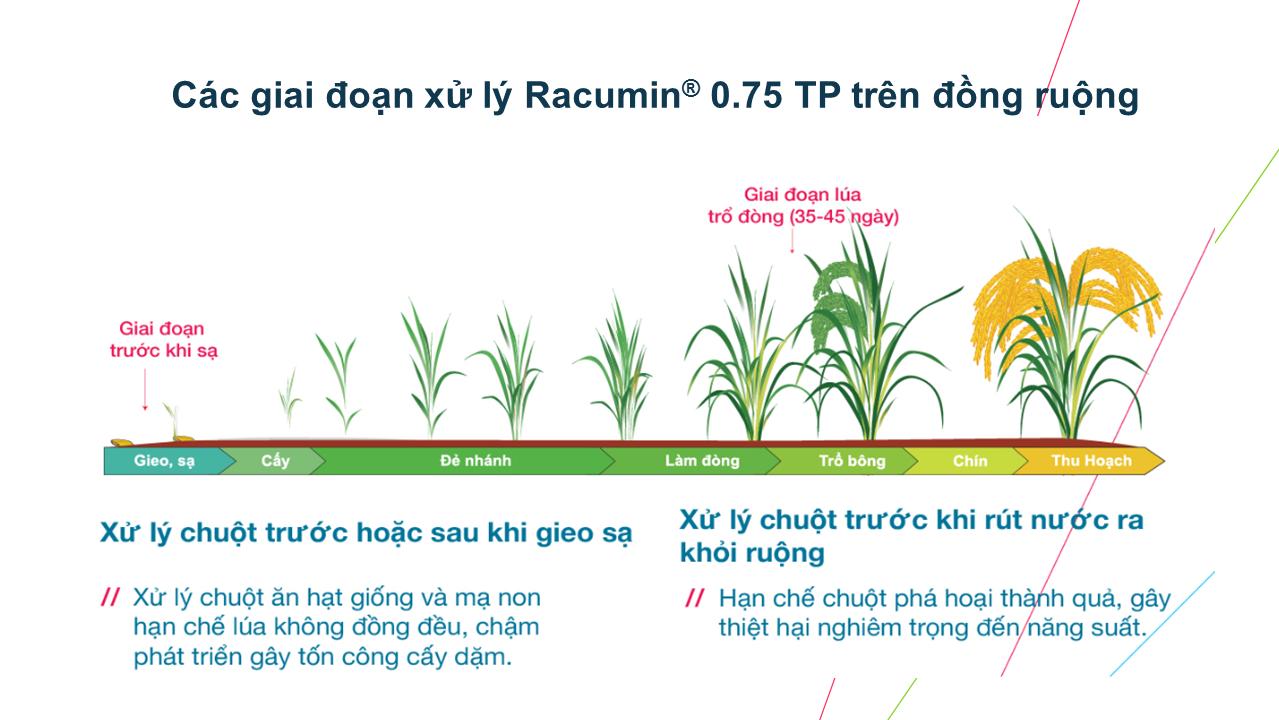 Các giai đoạn sử dụng Racumin Trên Lúa