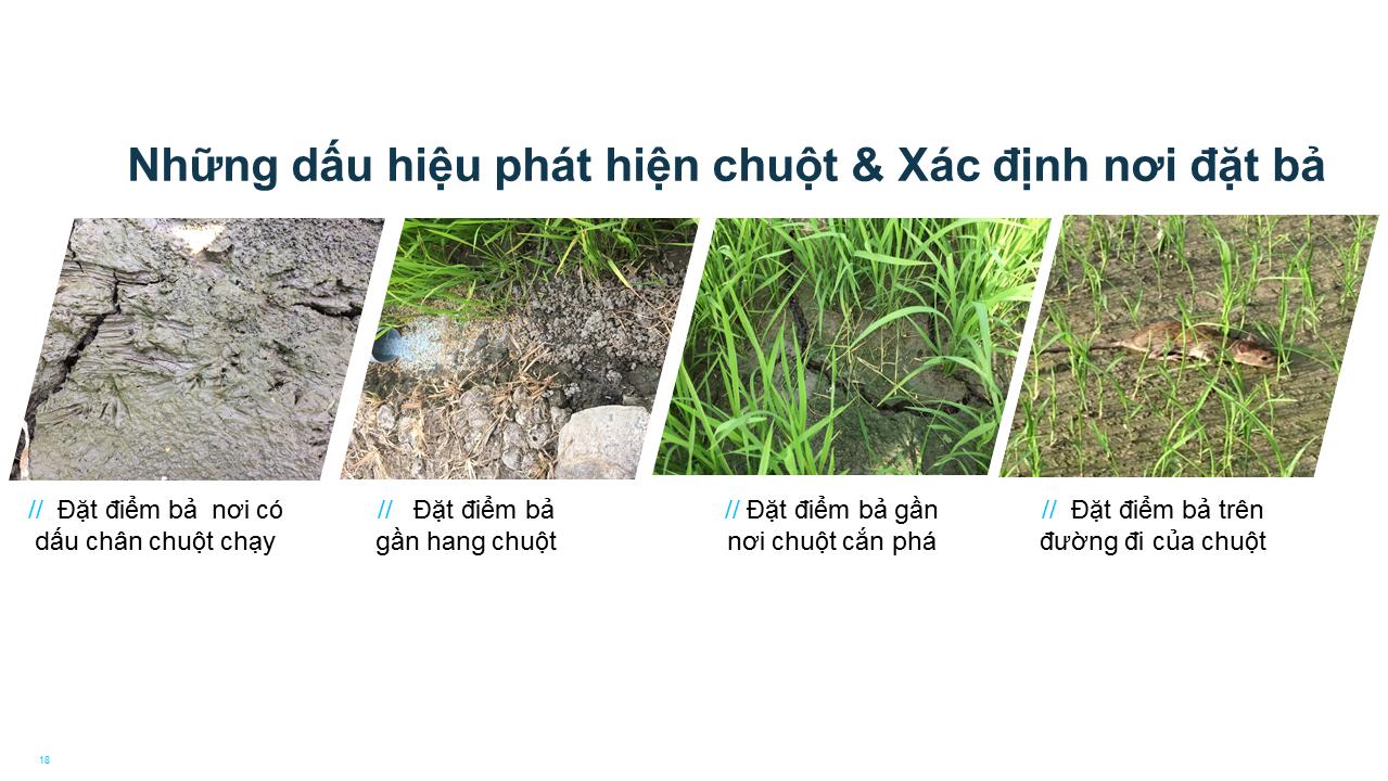 Những dấu hiệu phát hiện chuột gây hại trên đồng ruộng