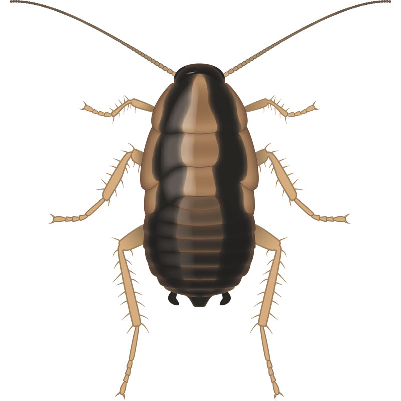 German Cockroach Nymph